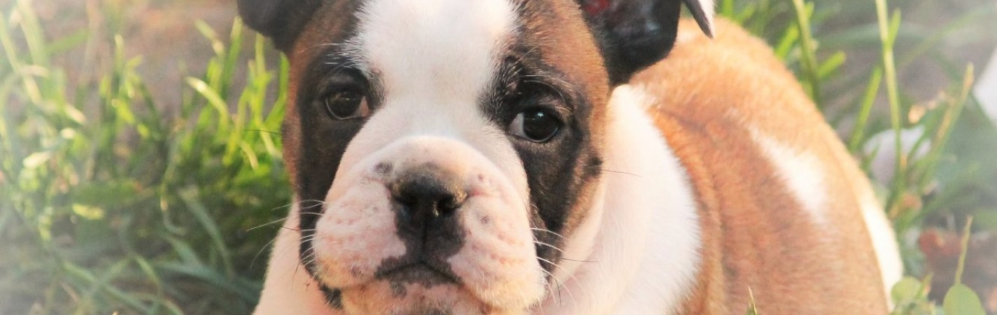 Best kept secret bullyz is located in Richmond VA breeding
